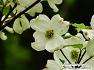 미국산딸나무 (flowering dogwood)꽃