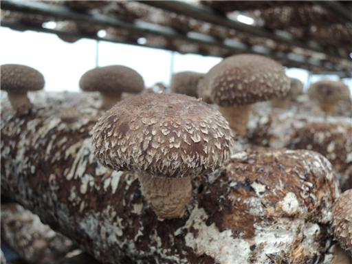 친환경 인증으로 믿을 수 있는 일산 표고버섯 농장